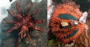 ядовитые морские ежи